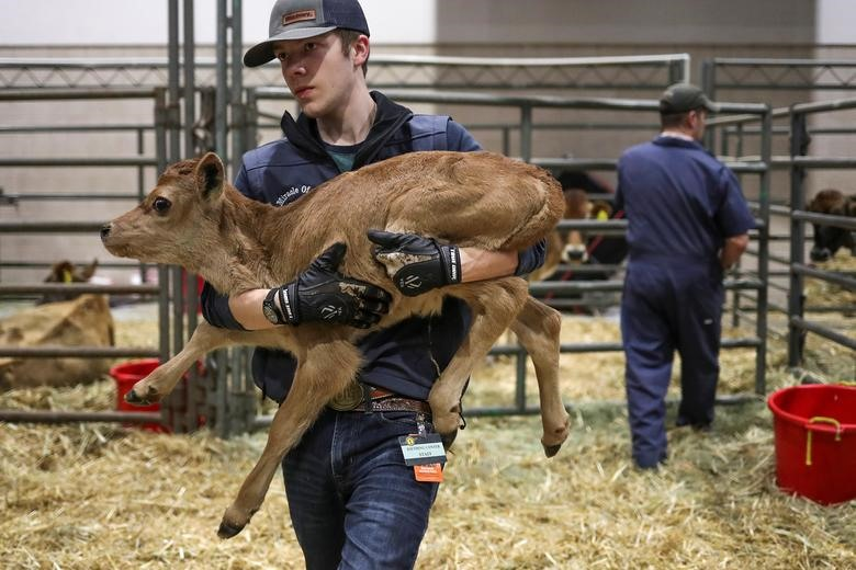 Schyler, 18, of La Grange, Texas, carries a newborn calf out of its pen enclosure a day after the Houston Livestock Show and Rodeo was shut down after concerns of the spread of the coronavirus, in Houston, Texas, March 12, 2020. REUTERS/Adrees Latif