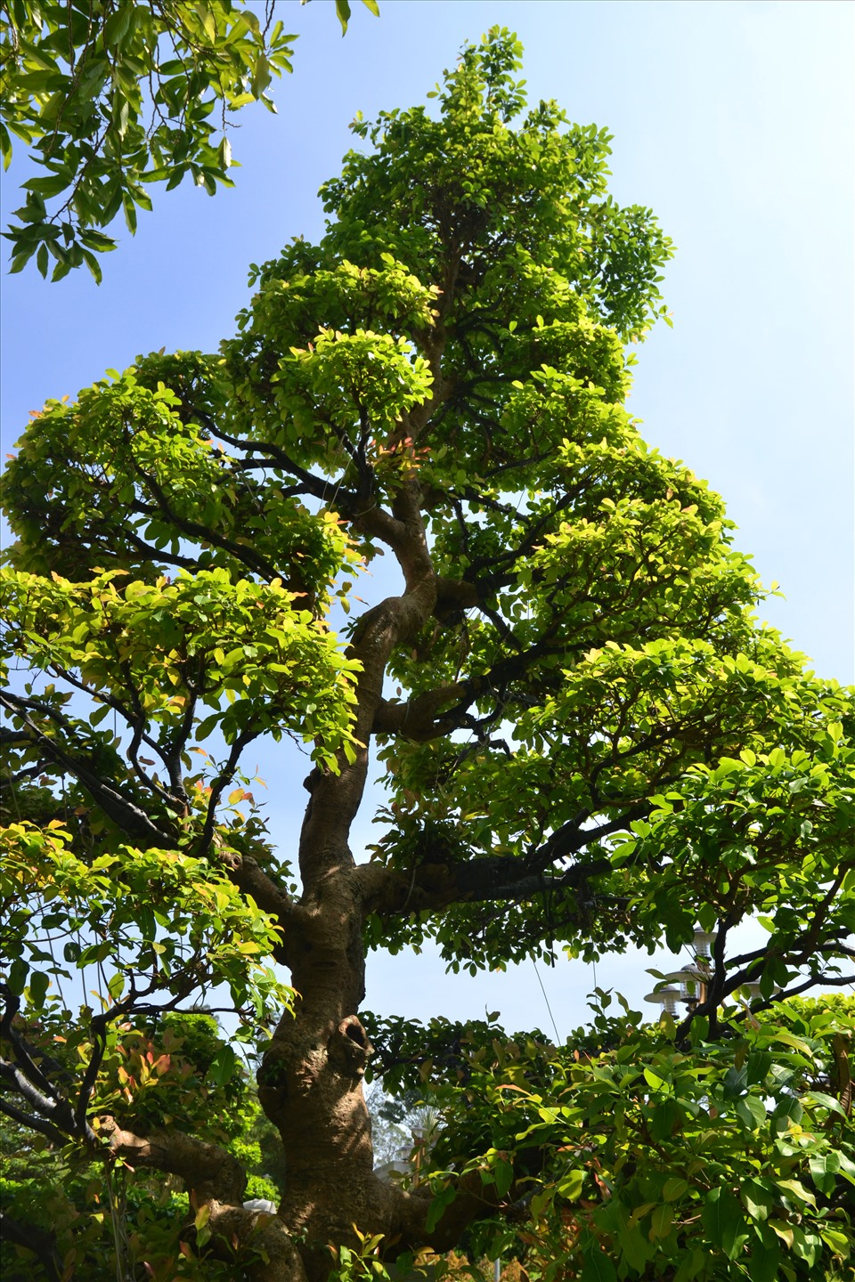 Particularly, the sop tree, planted in 1688, is now 333 years old.  Photo: Luc Tung