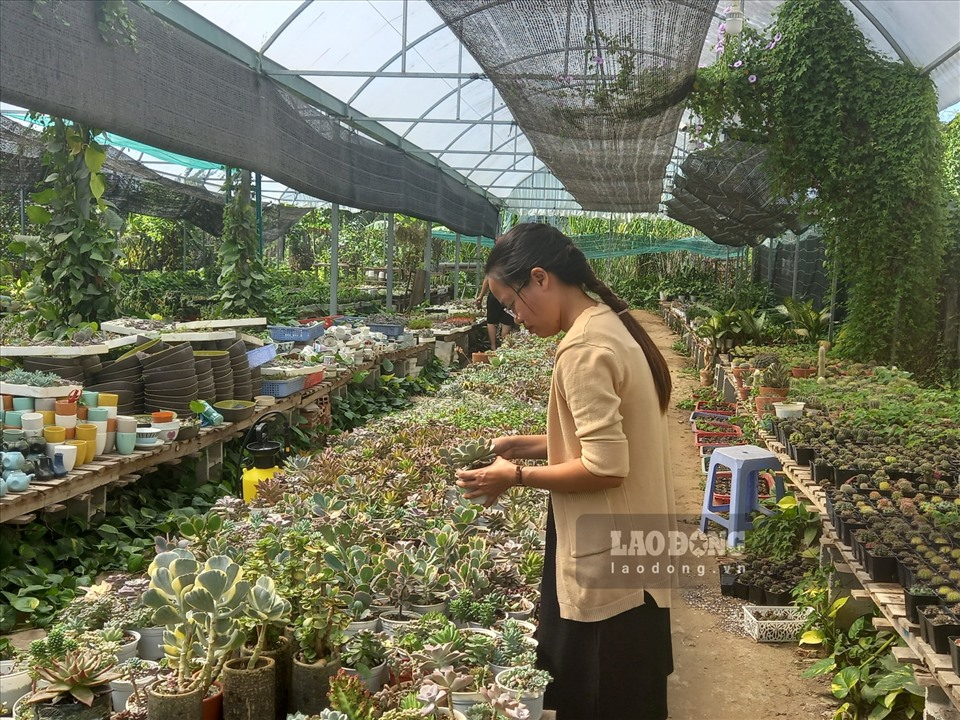 For many years working with this plant, Ms. Tran Hong Thao (the owner of Flower Land farm) shared: