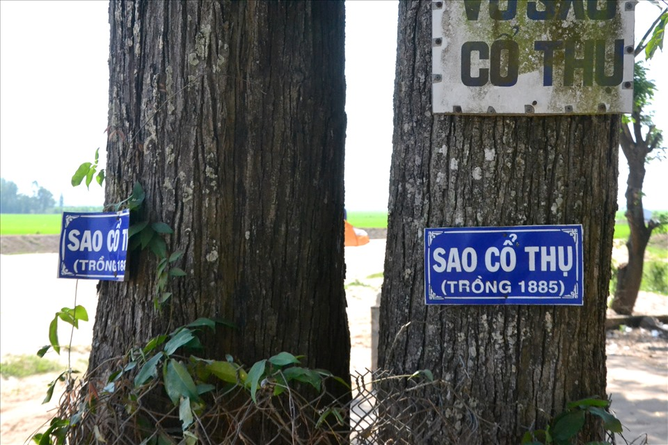 According to the notice boards made by the authorities, there are many ancient trees that are older than the century.  In the photo, this star tree is said to have been planted since 1885. Photo: Lục Tùng